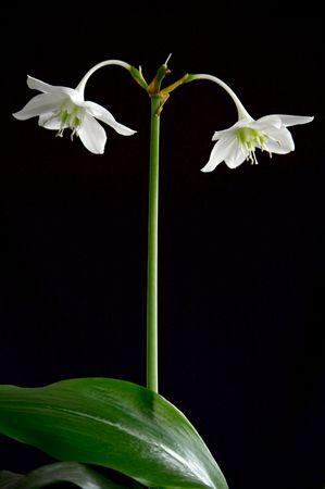 fleur arum: Fleurs blanches sur fond noir