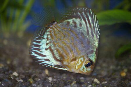 Aquarium fish by the closeup
