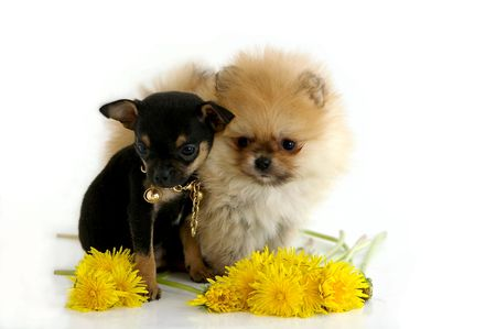 Two puppies against the white background