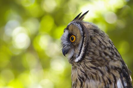 Portrait of a great horned Owl against the  green leaves background