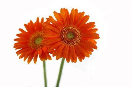 Orange daisies against the white background