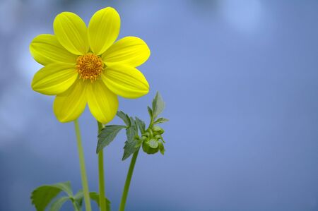 Yellow flower against the blue background
