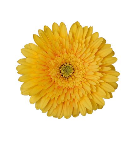 Yellow daisy by closeup against the white background Stock Photo