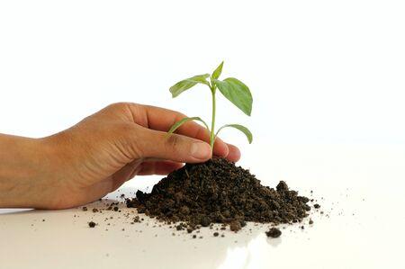 Seedling of sweet pepper against the white background