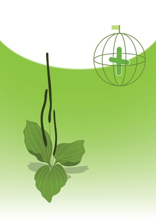 Illustration of medicinal plant, plantain.