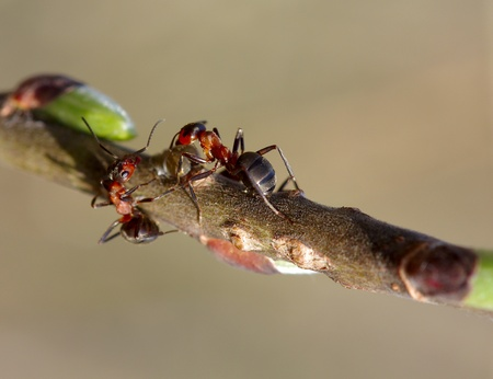 Two forest ants on the branch worry about the aphid Stock Photo