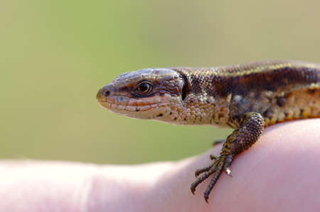 Small lizard by closeup Stock Photo