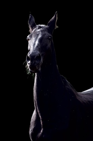 Portrait of sport horse against the black background