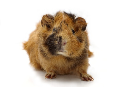 Young guinea pig against the white background Stock Photo