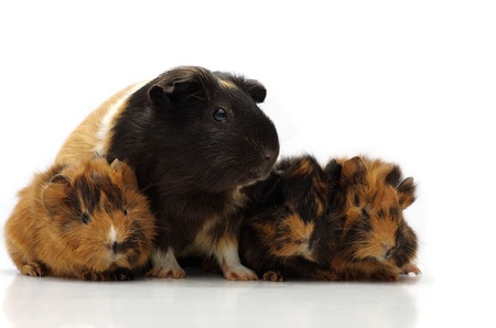 Small guinea pigs with its mom against the white background Stock Photo