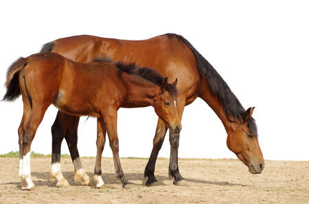 The mare with a foal on a white