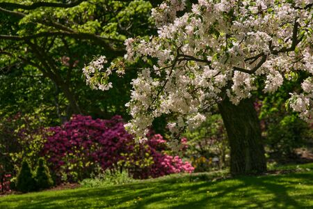 Apple-tree in park with rhododendron on background