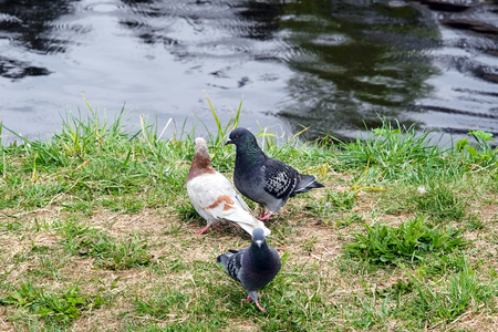 picturesque: three pigeons by the river