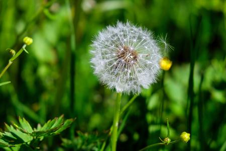 fluffy dandelion in a field close