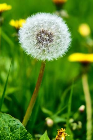 fading: fluffy dandelion in a field close