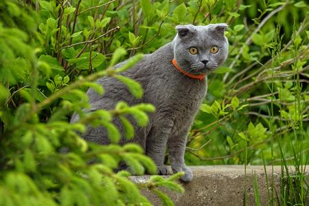 pelo castaño claro: beautiful portrait of a Scottish fold cat