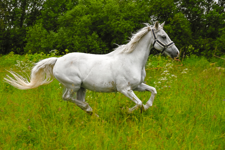graceful white horse in a field