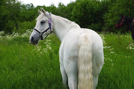 graceful white horse in a field