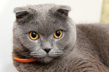 portrait of a Scottish fold cat