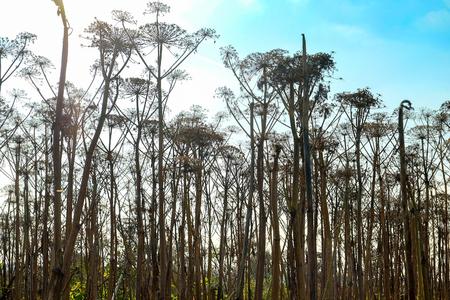field dried Hogweed