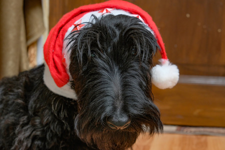 funny naughty dog in Santa hat