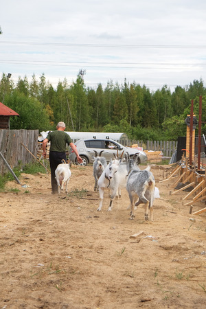 photo cute rustic goat from close range