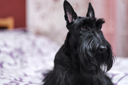beautiful portrait of a funny Scotch Terrier