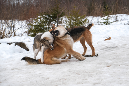 big dogs playing in the snow outside the city
