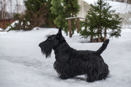 black dog on white snow on Christmas day