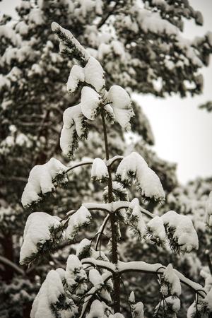 beautiful bushy green tree in a snowy forest