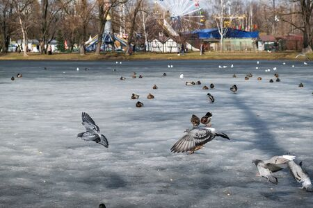 ducks and pigeons on ice in the city Park
