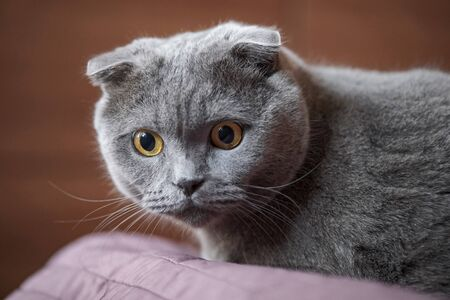 the beautiful portrait of a Scottish fold cat