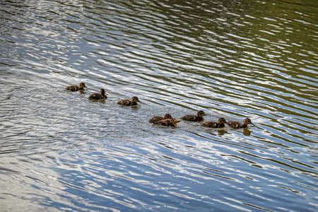 the little ducklings swim on the river in the Park 版權商用圖片