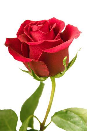 Scarlet Rose Blüte mit einem hellen grünen Blättern auf weißem Hintergrund