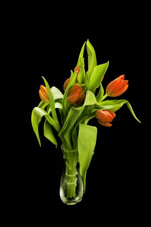 Beautiful red tulips isolated on a black background Stock Photo - 9051275