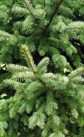 stacheligen Nadeln der ein Nadelbaum als natürlichen Hintergrund