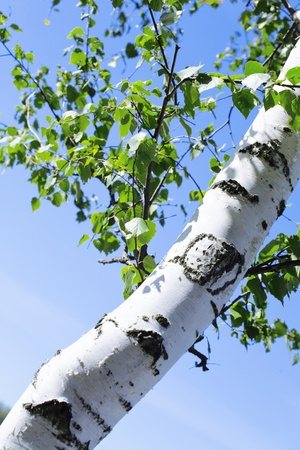 Trunk and green leaves of a birch against the sky