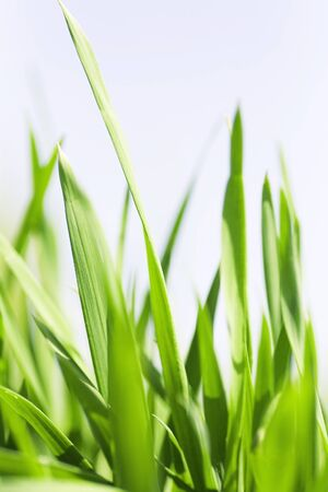 Juicy green blades of a grass against the light sky Stock Photo