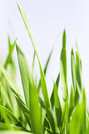 Juicy green blades of a grass against the light sky Standard-Bild