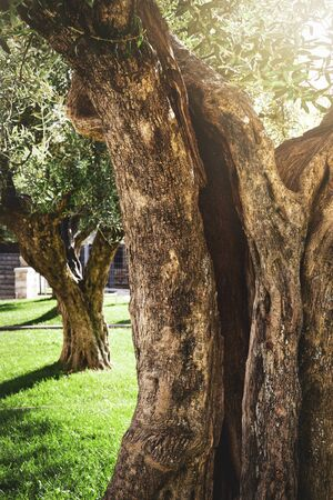 vintage secular olive tree trunk