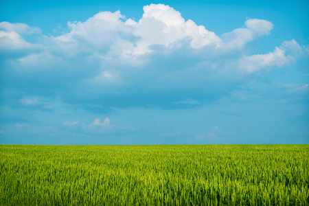 Green wheat field, grass blue with sky clouds. Background.