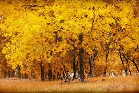 Ash tree with yellow leaves and bike.