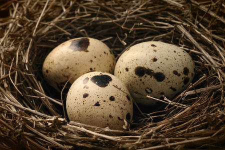 Close up nest with three quail eggs.