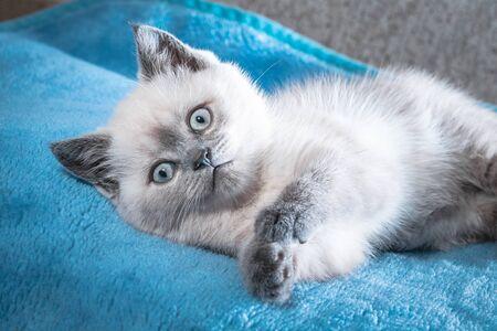 Close up cute blue point kitten lying on a blue bedspread.