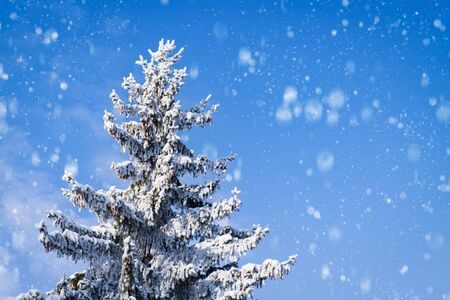 Spruce with cones covered with snow on a background of blue sky and falling snow with copy space.