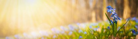 Blooming scilla flowers in the middle of forest grass web banner: springtime concept and first flowers.