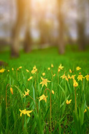 Yellow wild daffodils in green grass vertical frame with copy space.