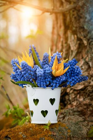 Close-up of a bouquet of scilla flowers and wild daffodil in a small bucket: concept of springtime and first flowers.