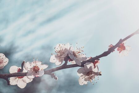 Flowering apricot branch on a background of sunlit sky.