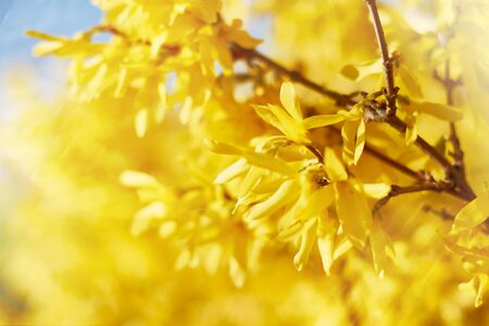 Closeup of blooming Forsythia twigs on a bright spring day: springtime concept and springtime background.